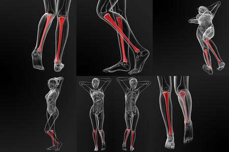 tibia: 3d rendering illustration of the tibia bone