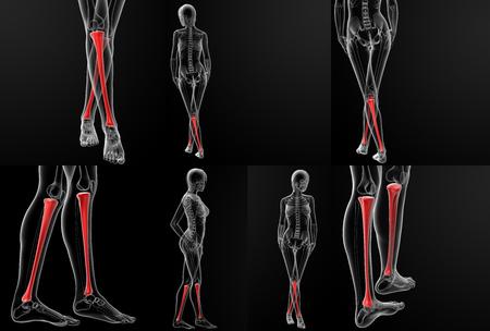 tibia: 3D rendering illustration of the tibia bone  Stock Photo