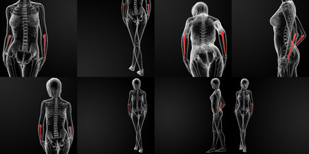 ulna: 3D rendering illustration of the ulna bone