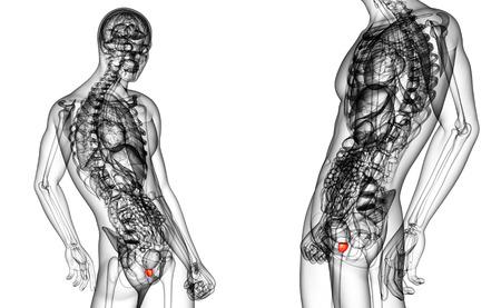 seminal vesicle: 3d rendering medical illustration of the prostate gland