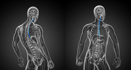 3d rendering illustration of the esophagus