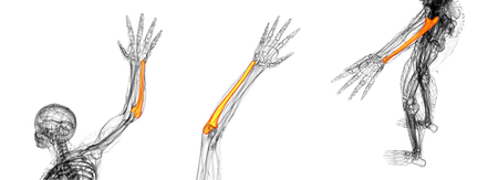 3D rendering medical illustration of the ulna bone