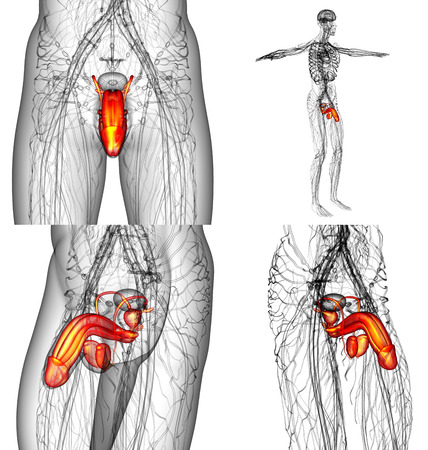 urogenital: 3D rendering illustration of the male reproductive system