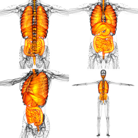 3D rendering illustration of the human digestive system and respiratory system