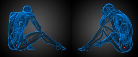 vas deferens: 3d rendering illustration of the human prostate