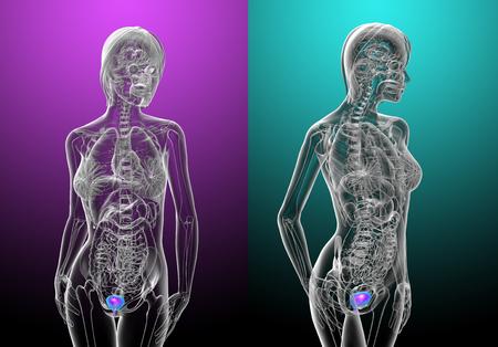 3d rendering medical illustration of the human bladder
