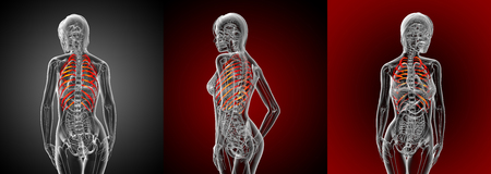 3d rendering medical illustration of the ribcage