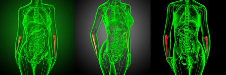 3d rendering medical illustration of the ulna bone