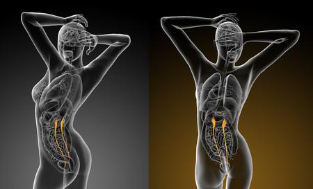 3d rendering medical illustration of the ureter