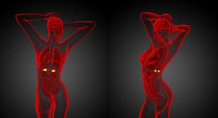 Illustration médicale de rendu 3D des glandes surrénales humaines Banque d'images - 74512934