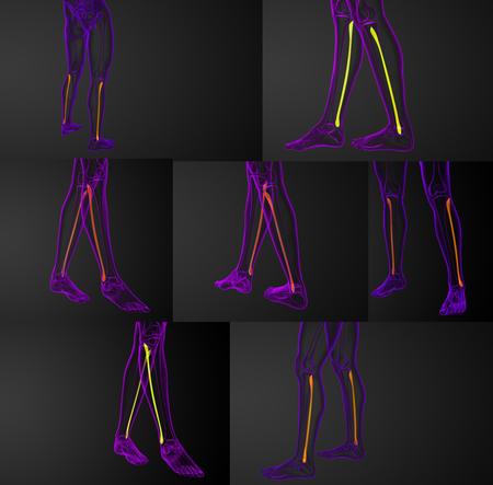 Representación 3D Ilustración Médica Del Hueso Del Peroné Fotos ...