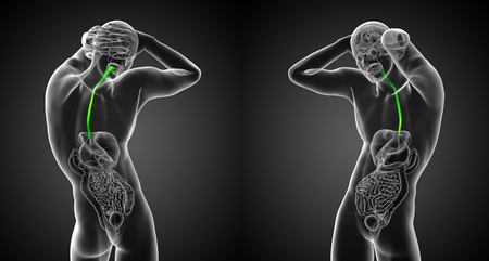3d render medical illustration of the esophagus - back view