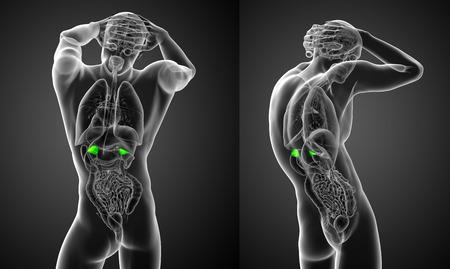 3D-weergave medische illustratie van de menselijke bijnieren