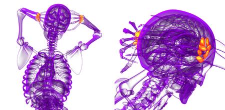 proximal: 3d rendering medical illustration of the carpal bone