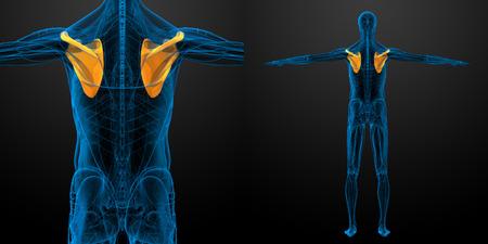 3d rendering medical illustration of the scapula bone