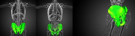 3D rendering illustration of the pelvis bone