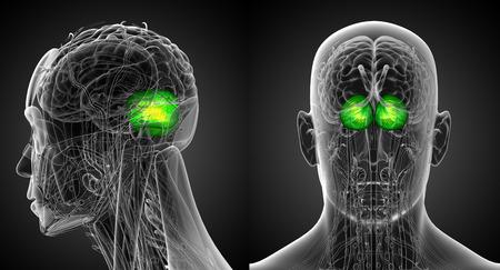 cerebrum: 3d rendering medical illustration of the human brain cerebrum