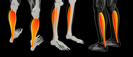 3D rendering illustration of Muscular Soleus