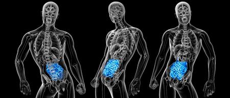 3d rendering Human digestive system small intestine