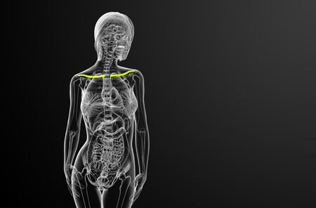 3d render medical illustration of the clavicle bone - front view