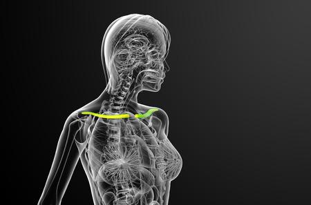 3d render medical illustration of the clavicle bone - side view 版權商用圖片