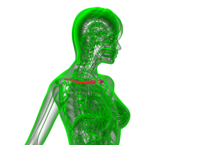 3d render medical illustration of the clavicle bone - side view Stock Photo