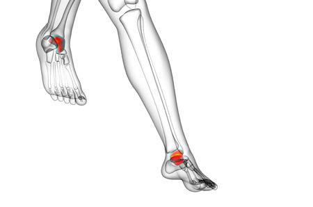 3d render illustration of the talus bone - back view