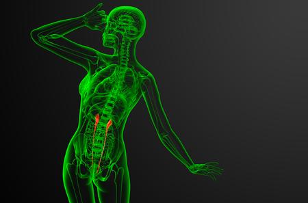 3d render medical illustration of the ureter - back view