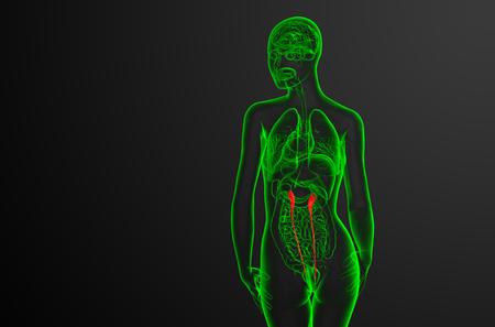 3d render medical illustration of the ureter - back view Stock Illustration - 113629493