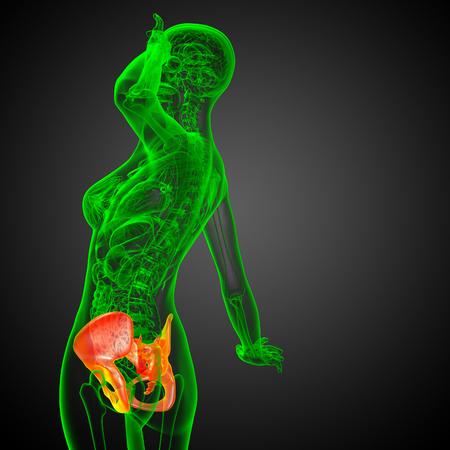 3D medical illustration of the pelvis bone Stock Photo