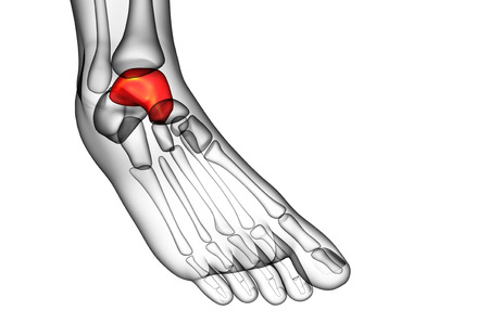 3d render illustration of the talus bone - side view
