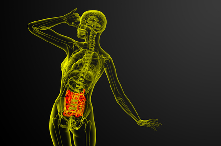 3d rendered illustration of the small intestine - back view Stock Photo