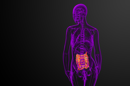 3d rendered illustration of the small intestine - back view Banco de Imagens