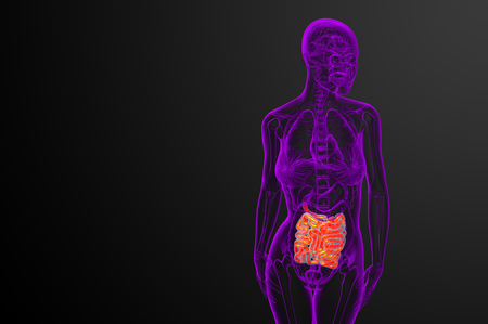 3d rendered illustration of the small intestine - front view