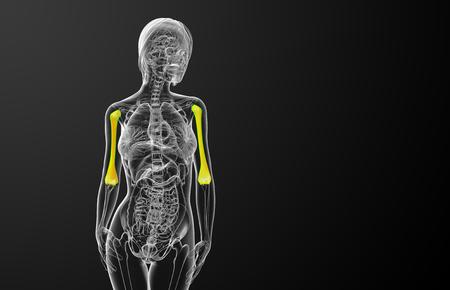 3d render medical illustration of the ulna bone - front view