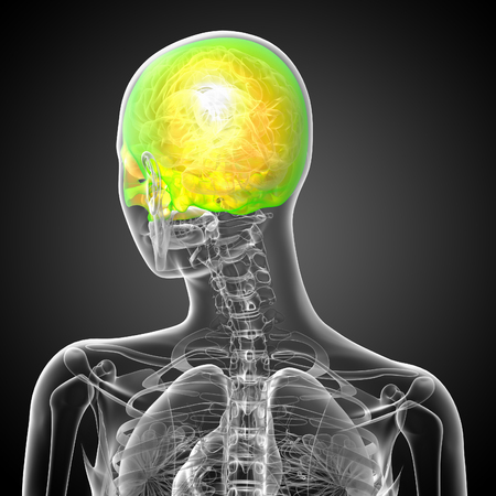 3d render medical illustration of the upper skull - back view Banco de Imagens