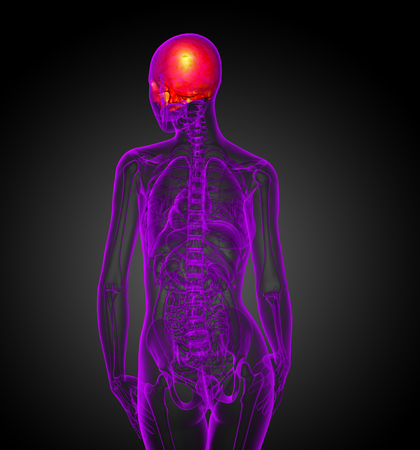 3d render medical illustration of the upper skull - back view Stock Photo