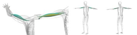 3d rendering illustration of green and yellow biceps muscle x-ray collection