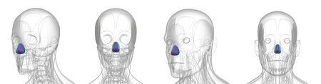 3d rendering medical illustration of dilator naris Standard-Bild - 133352969