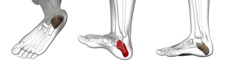 3d rendering illustration of calcaneus bone Standard-Bild