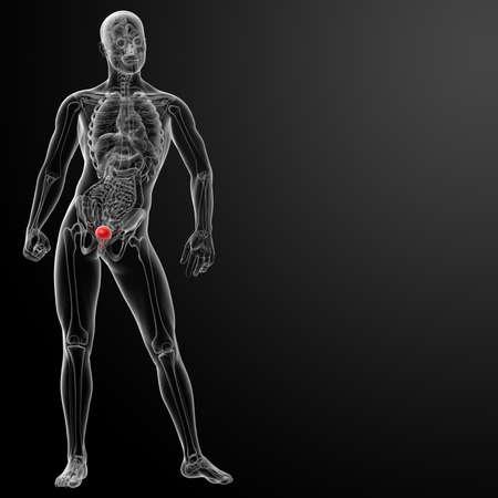 3d render bladder anatomy - front view