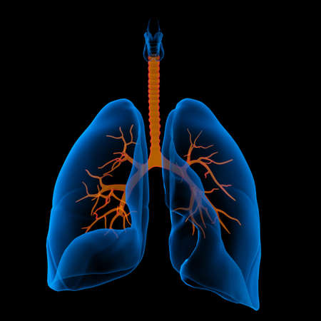 3D medical illustration - lungs with visible bronchi -front view