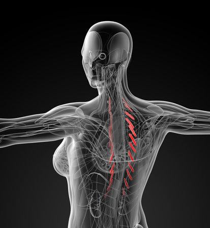 medical illustration of the Levator Costarum