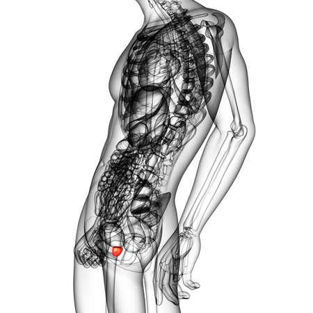 3d render medical illustration of the prostate gland - side view