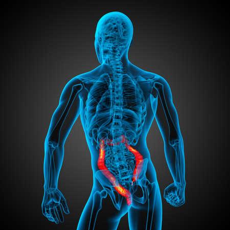 Human digestive system large intestine - back view