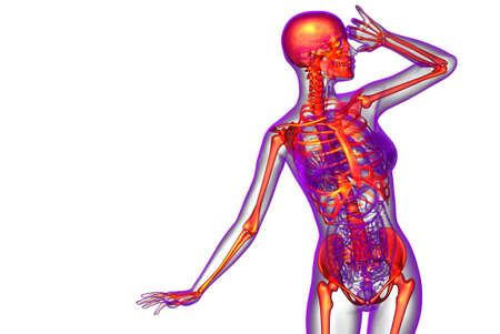 3d render medical illustration of the skeleton bone - front view