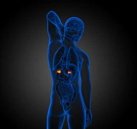 3d render medical illustration of the spleen - back view 版權商用圖片