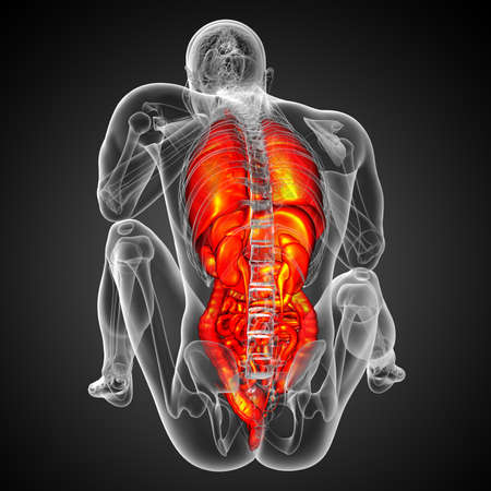 3d render medical illustration of the human digestive system and respiratory system - back view