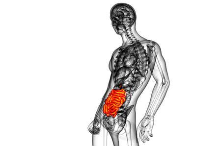3d rendered illustration of the small intestine - side view