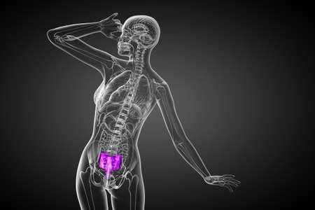3d render medical illustration of the sacrum bone - side view